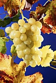 White grapes with vine leaves
