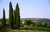 Cypresses at Chianti vineyard at Greve, Tuscany, Italy