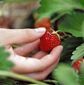 Hand Picking Strawberry