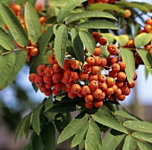 Rowan berries on the tree (outdoors)