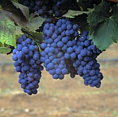 Red wine grapes, Grenache variety, on the vine