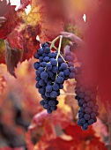 Red wine grapes, Barbera variety, on the vine