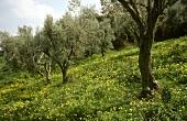 Olive trees in Sicily