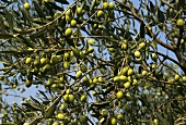 Green olives on the tree (France, Nyon)