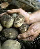 Hands holding freshly dug potatoes