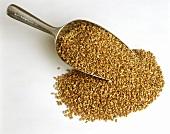 Grains of wheat on scoop