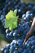 Cabernet Franc grapes on the vine, Pomerol, France