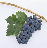 Cabernet-Sauvignon-Traube mit Weinblatt und Ast