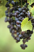 Grapes in the Hunter Valley, New South Wales, Australia