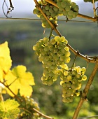 Bunch of Riesling grapes on the vine in Wachau, Austria