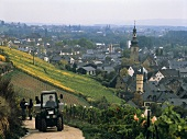 Grape picking in Berg Rottland vineyard, Rüdesheim, Rheingau