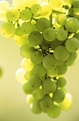Riesling grapes illuminated by the sun, Alsace, France