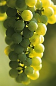 High quality Riesling grapes in Alsace, France