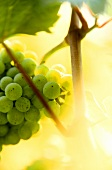 Riesling grapes in sunlight, Alsace, France