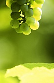 Riesling grapes on the vine, a vine leaf below, Alsace