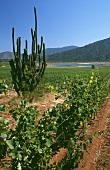 Vineyard of Veramonte estate with cactus, Casablanca, Chile