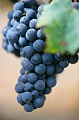 Cabernet-Sauvignon grapes on the vine, Pomerol, France