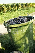 Burgundy grapes in tub, Hagnau on Lake Constance, Germany