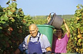 Cheerful grape-pickers in vineyards near Hagnau, Lake Constance