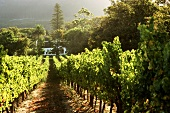 Vineyard of the Buitenverwachting Estate, Constantia, S. Africa
