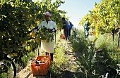 Picking Pinotage grapes, Laborie Estate, S. Africa