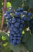 Red wine grapes (Carmenere variety) on the vine, Chile