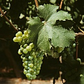 Riesling-Traube im Colchagua-Valley in Chile, Amerika