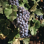 Cabernet-Sauvignon on the vine, Maipo Valley, Chile