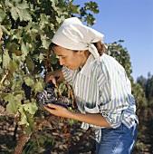 Weinlese in den Weinbergen bei Valle Central, Chile