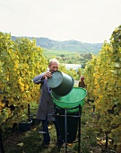Grape picking in the vineyards at Fellbach, Baden-Württemberg