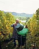 Weinlese in den Weinbergen bei Fellbach, Baden-Württemberg