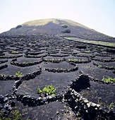 Wine growing in Lanzarote, Spain