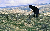 Woman shortening vines in vineyard, Cyprus, Greece