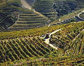 Grape picking at Soutelo do Douro, Douro Valley, Portugal