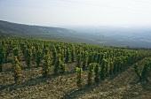 Vineyard near Tarcal, Tokaj-Hegyalja, Hungary