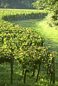Vineyard in Pomerol wine growing district, Bordeaux, France