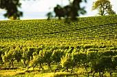 Vineyard in the Bergerac region, Bordeaux, France