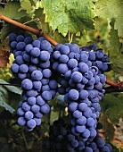 Trincadeira-Weintrauben an der Rebe, Alentejo, Portugal