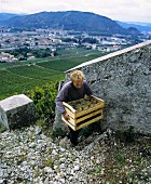 Marsanne grapes in wooden crate, Michel Chapoutier, Hermitage