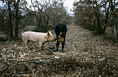 Man with truffle pig in forest (Le Quercy, Provence 2)