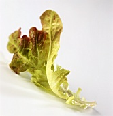 Two leaves of oak leaf lettuce