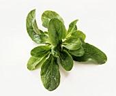 Feldsalat, frisch gewaschen