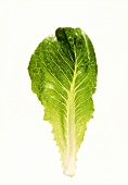 A romaine lettuce leaf