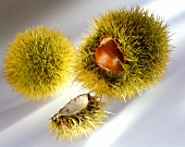Sweet chestnuts, still in green prickly shell