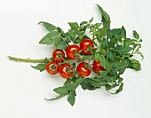 Tomatoes on the vine with leaves on white background