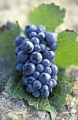 Pinot Noir Grapes on Leaf