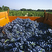 Red Wine Grapes; Provence