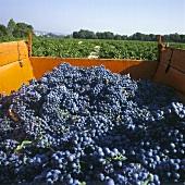Weinlese: Rotweintrauben auf einem Lastwagen in der Provence