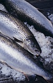 Freshly caught salmon from Tasmania