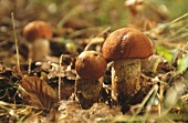 Red boletus in forest clearing